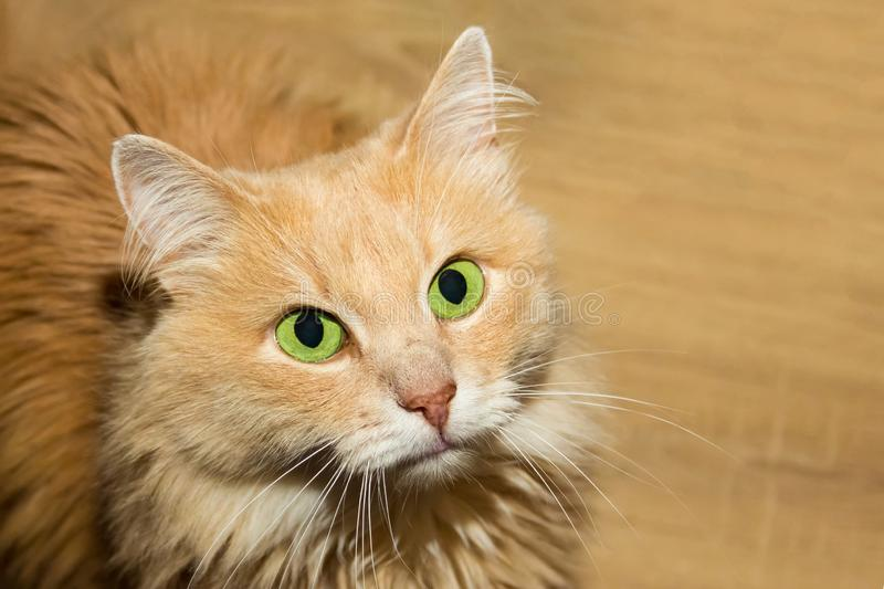 Fluffy red cat with big green eyes portrait of a cute homemaker close-up sitting waiting for a treat stock image