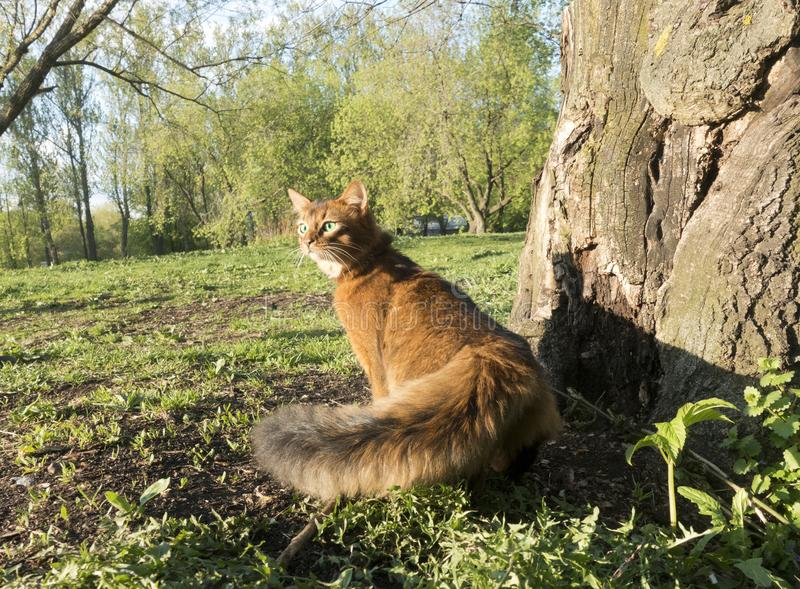 Fluffy red cat with green eyes Somali breed walks on green grass.  royalty free stock images