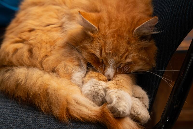 Fluffy red cat sleeping on a chair royalty free stock photos