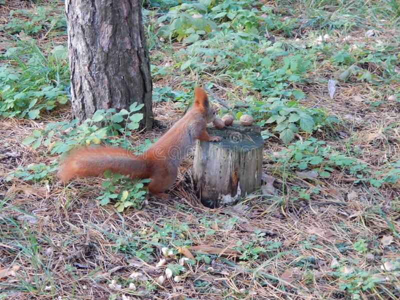 Fluffy red squirrel eating nuts in the forest stock image