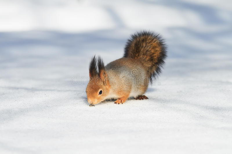 Fluffy red squirrel seeking seeds on the white snow in winter Park. Cute fluffy red squirrel seeking seeds on the white snow in winter Park royalty free stock photo