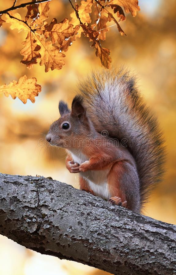 Fluffy red squirrel sitting in autumn Park on a tree oak with bright Golden foliage. Beautiful fluffy red squirrel sitting in autumn Park on a tree oak with stock photos
