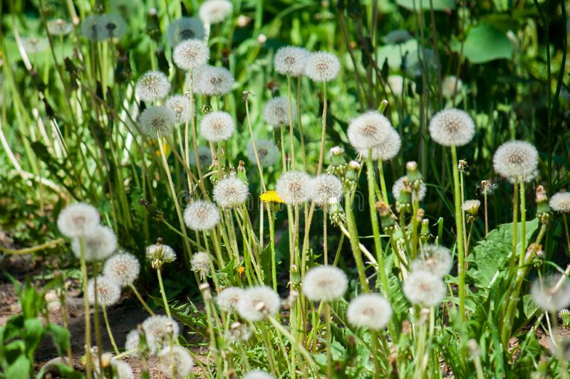 A fluffy ripe white round weedy dandelion is ready to send hundreds of its seeds i stock image