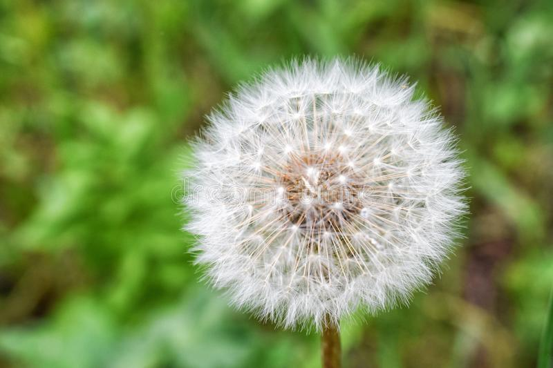 Fluffy round white dandelion flower with blurred background royalty free stock photo