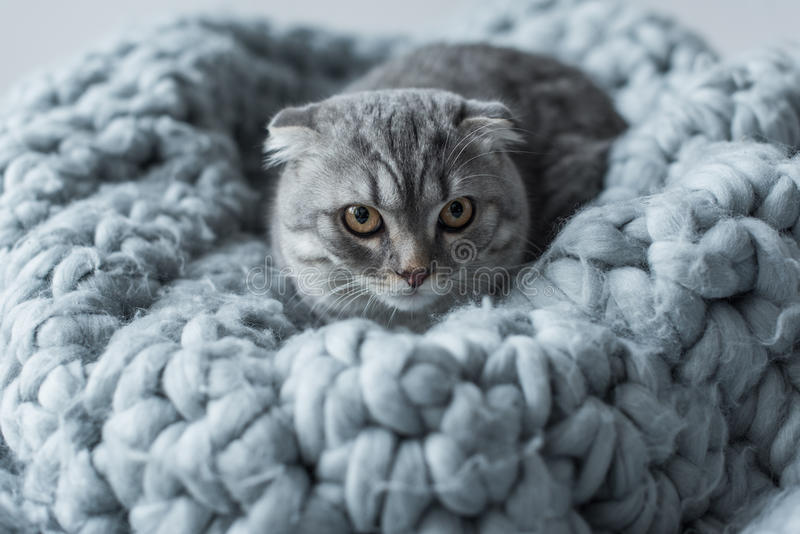 Fluffy scottish fold cat lying on wool blanket in bedroom royalty free stock photography