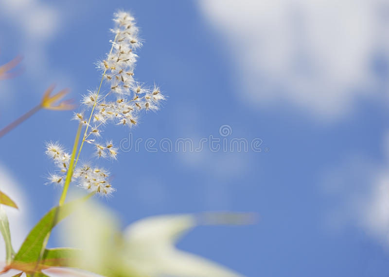 Fluffy seed head of grass royalty free stock photos