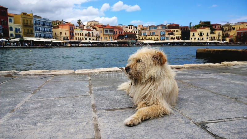 Fluffy shaggy homeless dog on the waterfront of Chania. Nice neat famous houses in the background stock photos