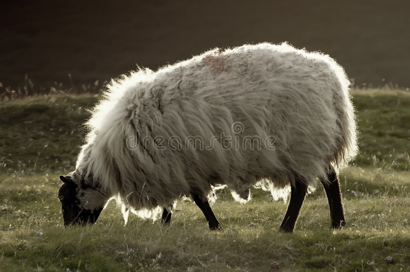 Download Fluffy sheep stock photo. Image of idyll, animal, landscape - 3310778