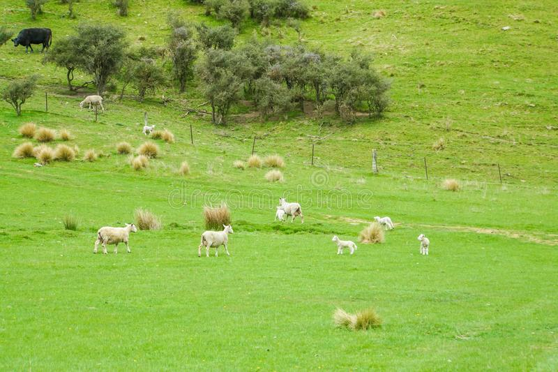 Fluffy sheep herd on green yard in New Zealand for agriculture industry. White fluffy sheep herd on green yard in New Zealand for agriculture industry stock photo