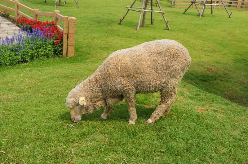 Download Fluffy Sheep stock image. Image of coat, green, outside - 48318423