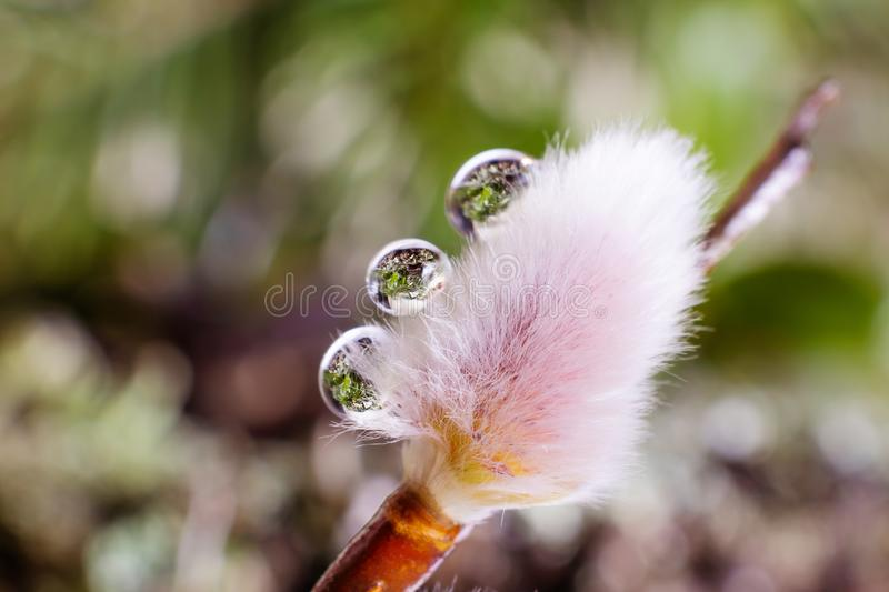 Fluffy shoots of a willow tree close-up in water drops. stock image