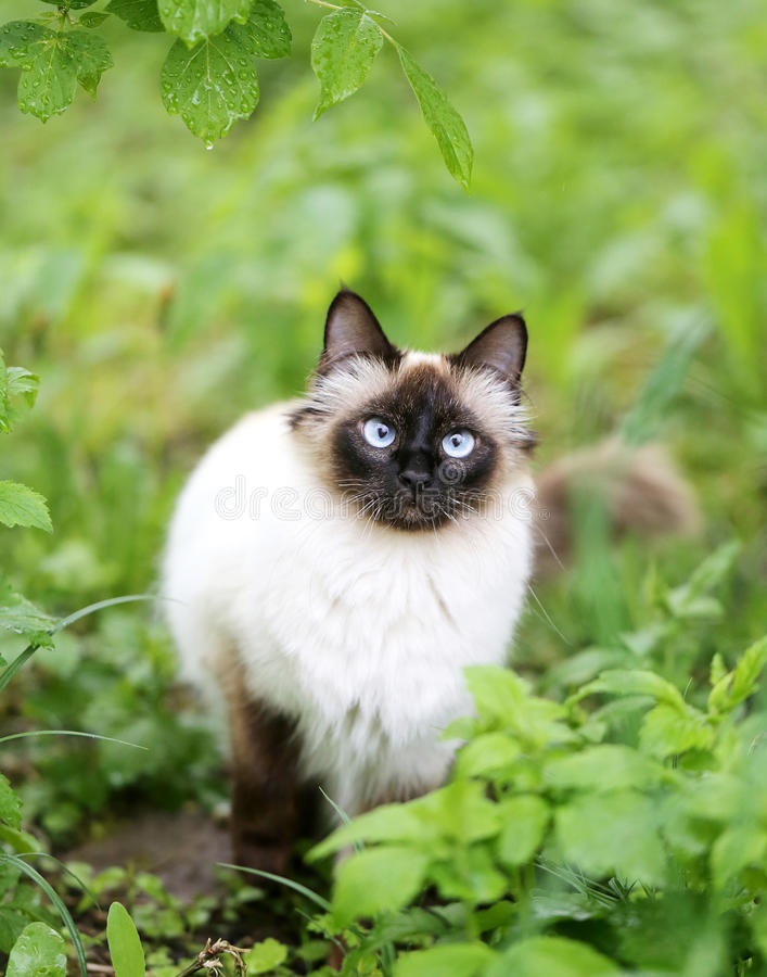 Fluffy Siamese cat. Beautiful fluffy Siamese cat in the green stock photo