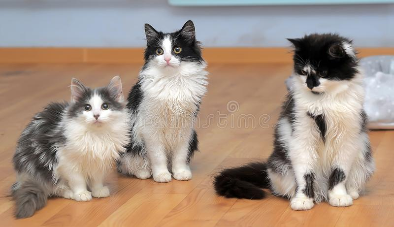 Fluffy siberian kittens white with black and with gray. Three fluffy siberian kittens white with black and with gray stock image