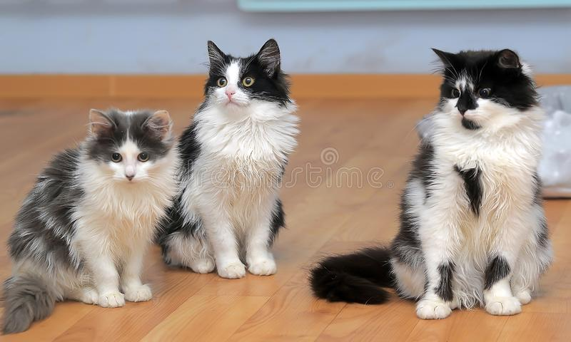 Fluffy siberian kittens white with black and with gray. Three fluffy siberian kittens white with black and with gray royalty free stock image