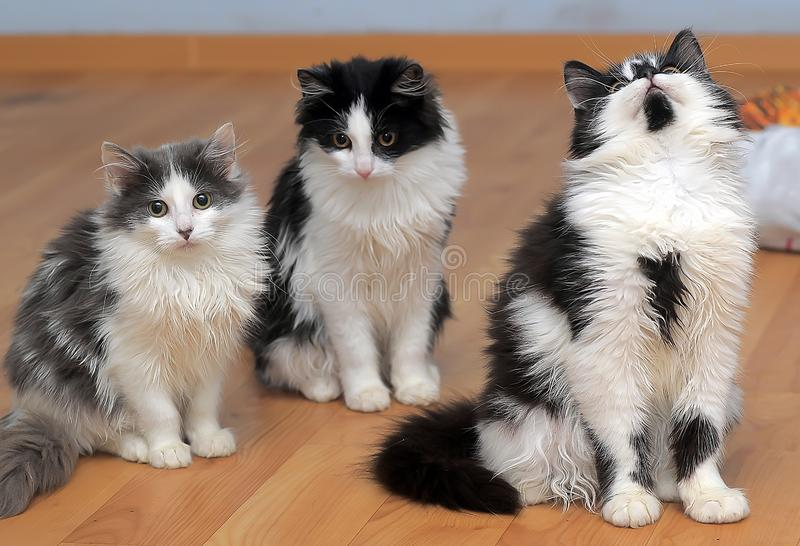 Fluffy siberian kittens white with black and with gray. Three fluffy siberian kittens white with black and with gray royalty free stock images
