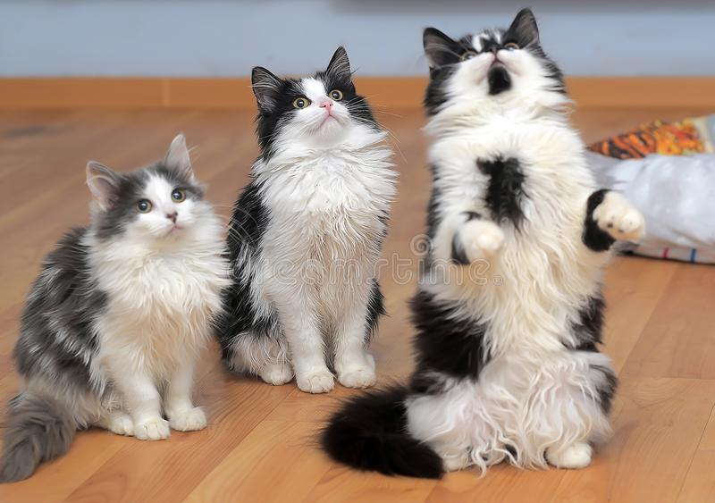 Fluffy siberian kittens white with black and with gray. Three fluffy siberian kittens white with black and with gray stock photos