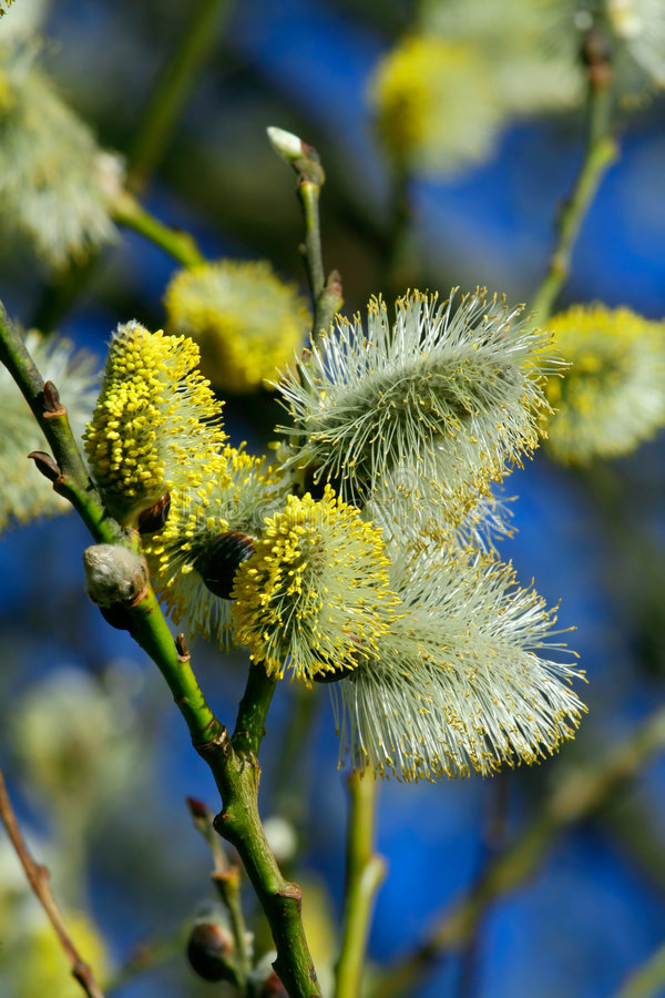 Fluffy silky catkins close-up stock images