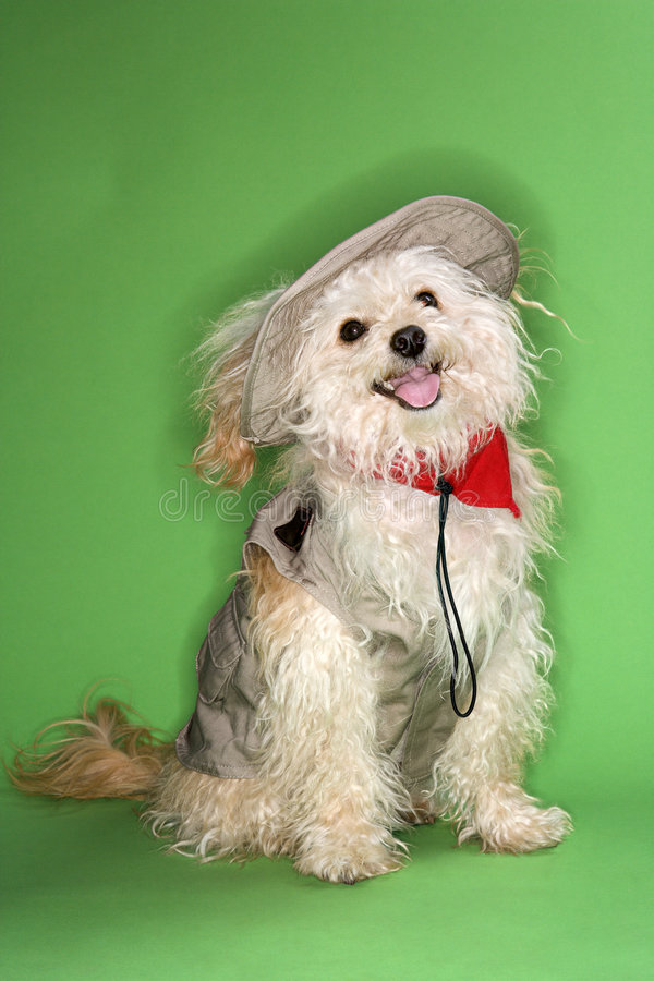 Download Fluffy Small Dog In Safari Outfit. Stock Photo - Image: 2037814