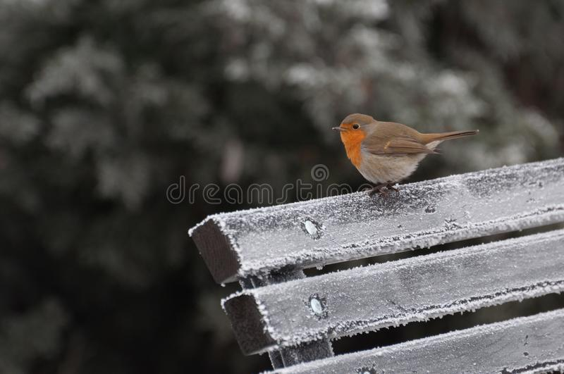 Fluffy small European robin looking at the camera royalty free stock photo