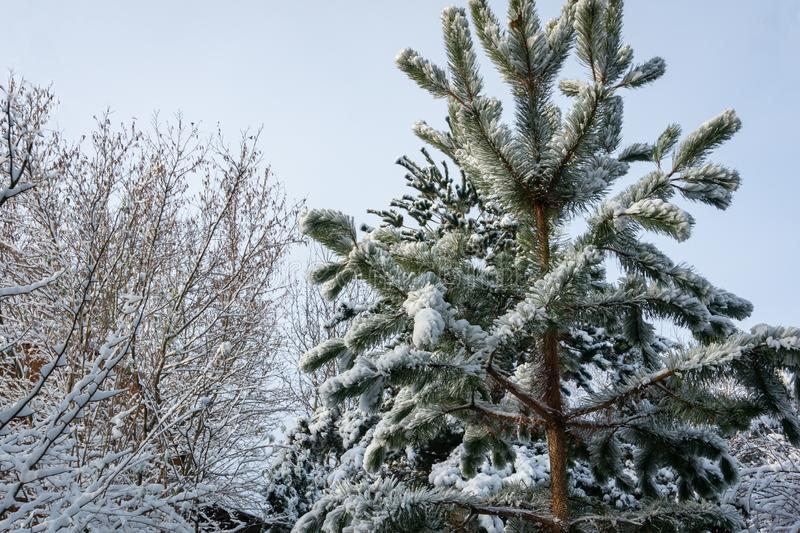 A fluffy snow covered Austrian pine on the right and tree branches on the left against a clean blue sky. stock image