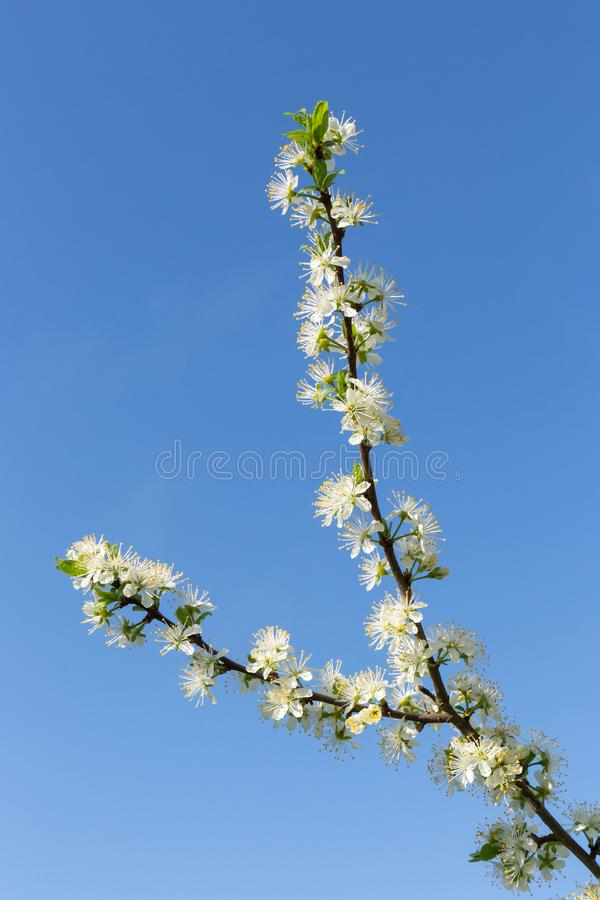 Fluffy, snow-white plum branch with young green leaves against the blue cloudless sky. White plum blossoms. Stormy spring bloom. royalty free stock photography