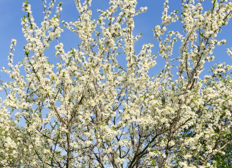 Fluffy, snow-white plum branches with young green leaves on the background of a blue cloudless sky. White plum blossoms. royalty free stock image