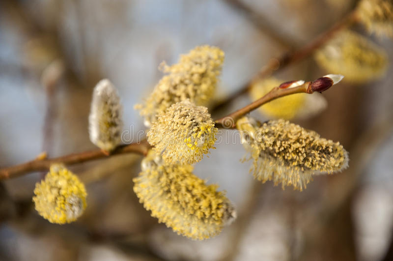Fluffy soft willow buds in early spring. stock photos