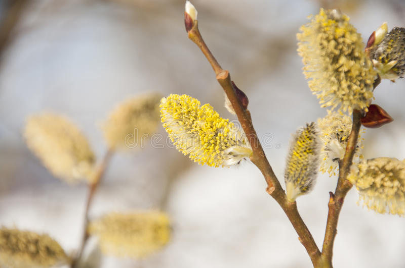 Fluffy soft willow buds in early spring. royalty free stock photos