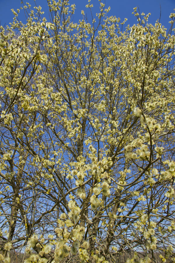 Fluffy soft willow buds in spring. royalty free stock photography