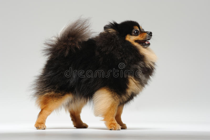 Download Fluffy spitz standing stock photo. Image of adult, fluffy - 25644818