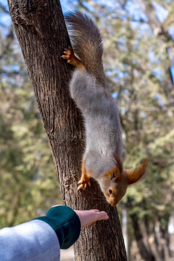 Fluffy squirrel held by claws on a tree and eating nuts from young girl hand in a resort park, sunny day, the city of Yessentuki,. Selective focus, wildlife royalty free stock photography