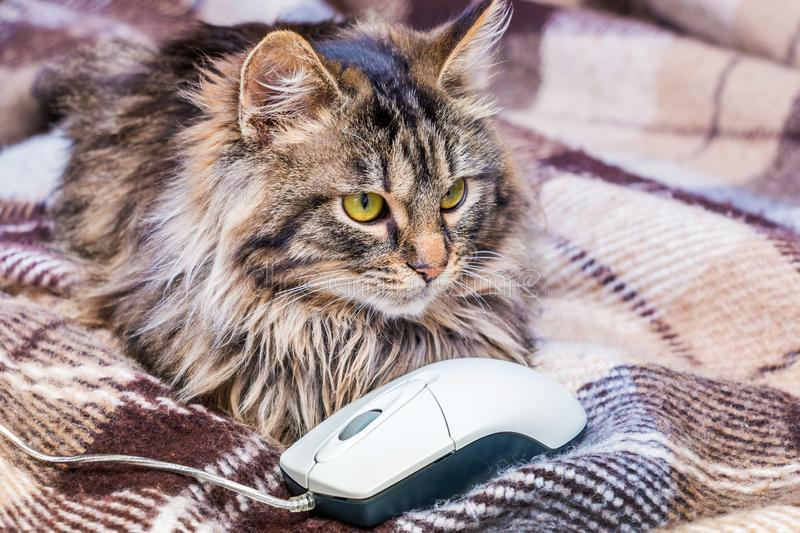 Fluffy striped cat near a computer mouse. Work at a computer_. Fluffy striped cat near a computer mouse. Work at a computer royalty free stock photos