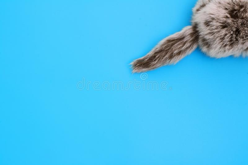 Fluffy tail. Fur tail of the animal close-up on a blue background. Natural fur stock photos