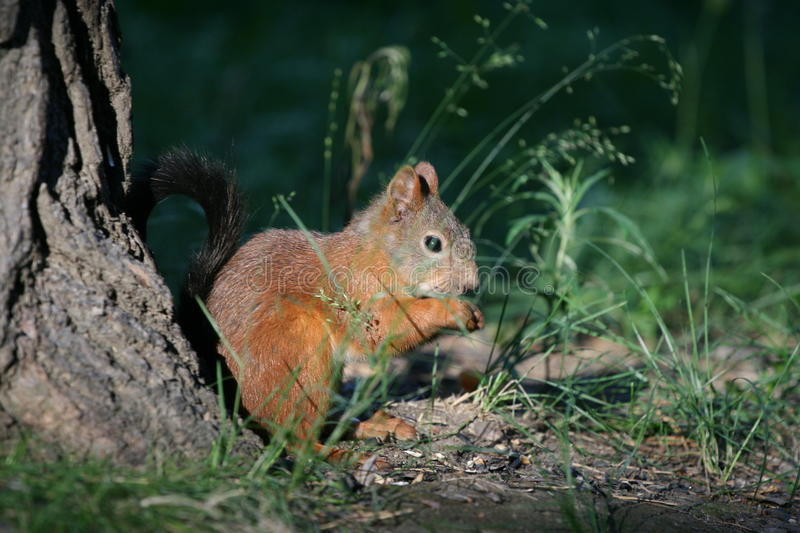 Fluffy tail in the grass royalty free stock photo