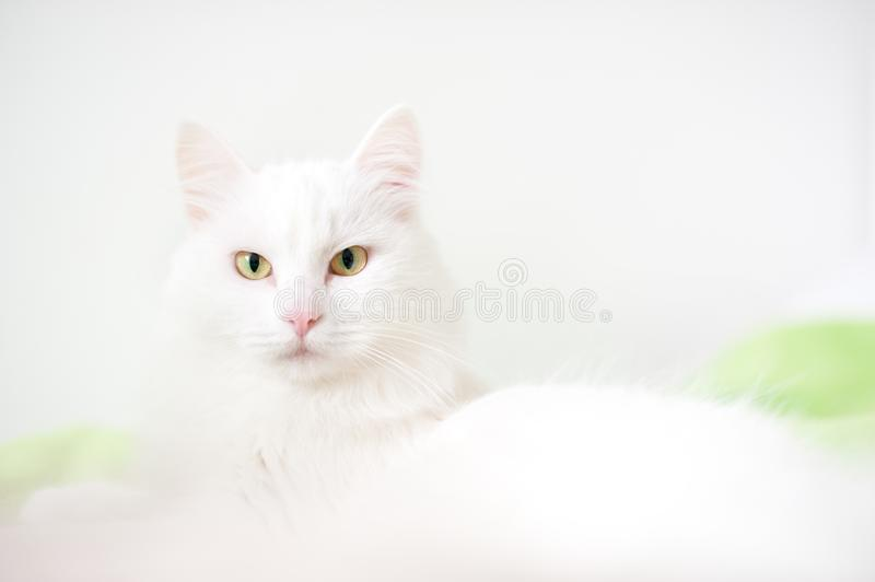 Fluffy white cat close-up. On a light background royalty free stock images