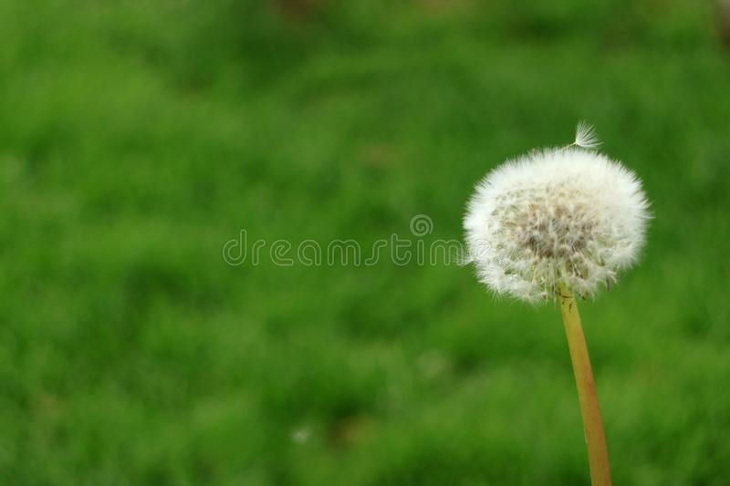 Fluffy white Dandelion flower head with its tiny florets against blurry green meadow royalty free stock photo