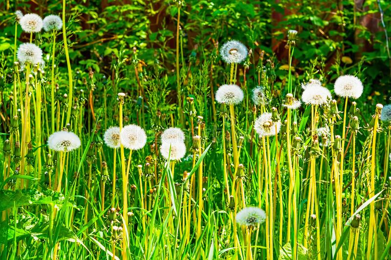 Fluffy white dandelion heads with seeds on green grass background, stock image