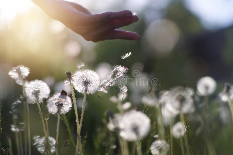 Fluffy white dandelions in the morning sunlight blowing away across a fresh green grass. stock photo