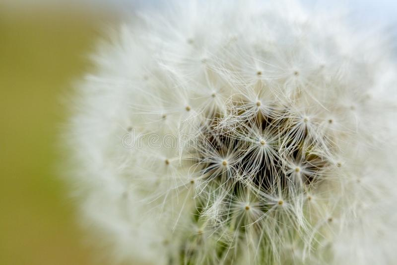 Fluffy white dandelions. Photo close-up, small depth of field stock photography
