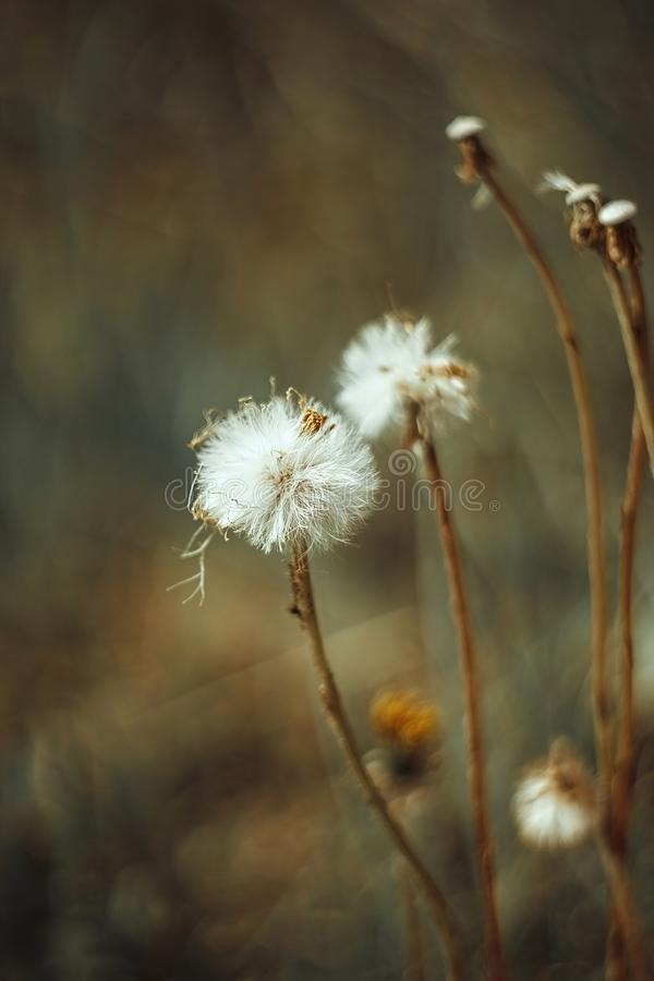 Fluffy white flower fall dandelion, autumn hawkbit on yellow green blurred background. Close up macro, side view. The white fluff royalty free stock photos