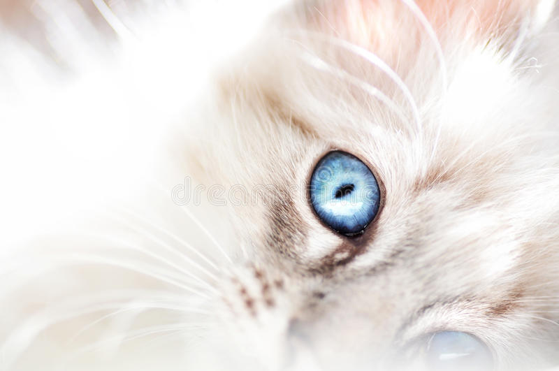 Fluffy white innocent baby blue eyed kitten royalty free stock image