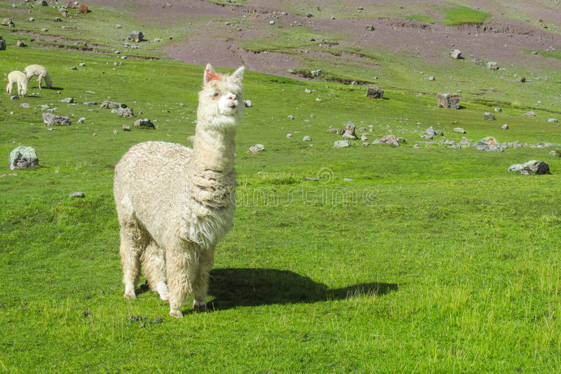 Fluffy white Lama on altiplano. Fluffy lama on green grass meadow in the Andes mountains stock photos