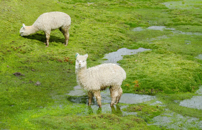 Fluffy white Lama on altiplano wetland. Fluffy lama on green grass meadow in the Andes mountains stock photos