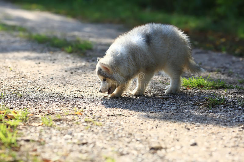 Fluffy white Malamute puppy sniffing the ground stock photos