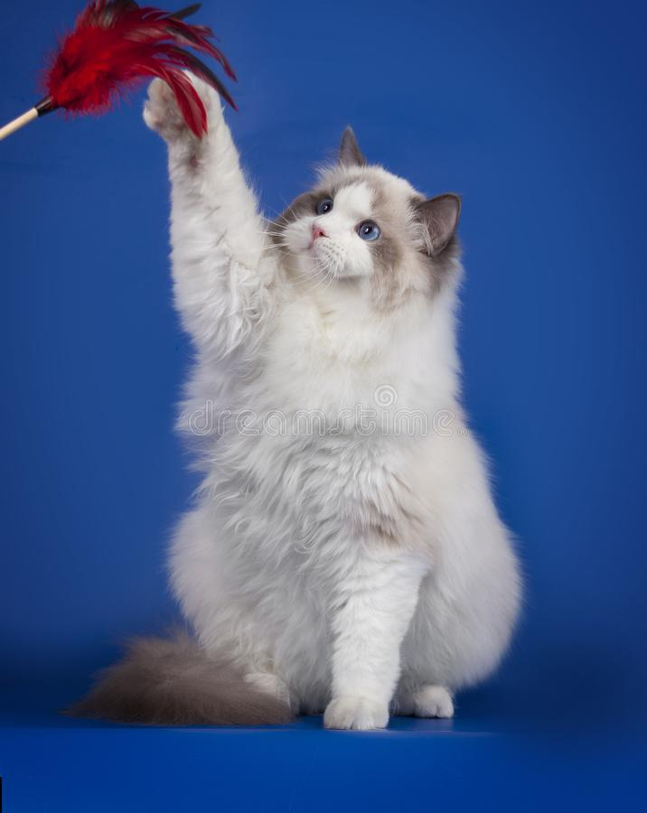 Fluffy white ragdoll kitten plays with a feather on a blue Studio background. Adorable white kitten with blue eyes royalty free stock photos