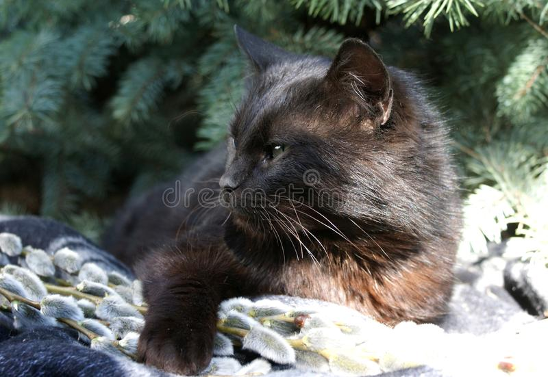 A black cat nestles under a Kalyuchey Christmas tree on soft willow branches. stock photography