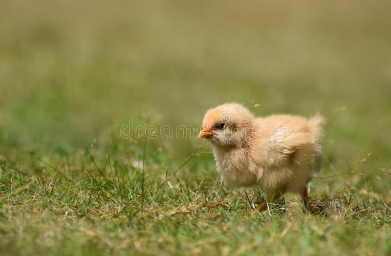 Fluffy yellow baby chick. A cute baby chick with fluffy yellow feathers in grass stock photo