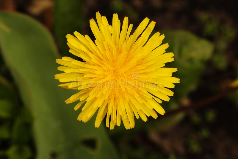 Fluffy yellow dandelion flower top view close up stock photo