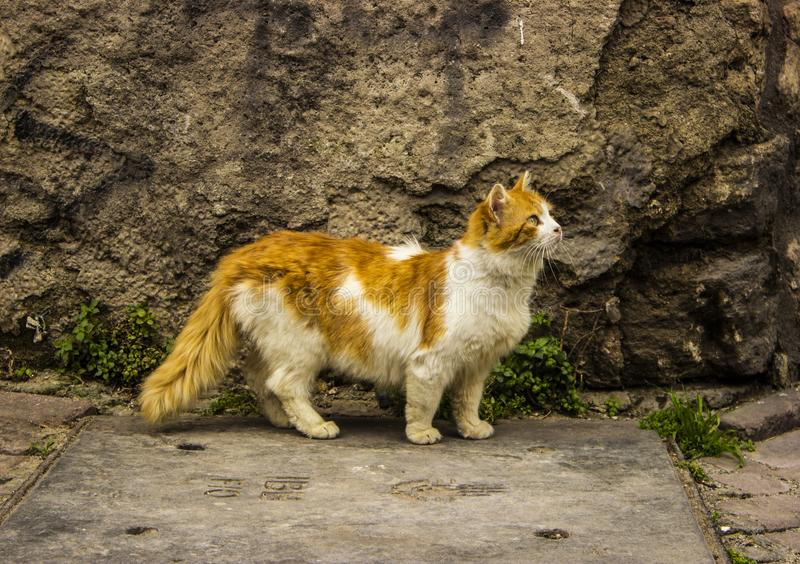 Fluffy Yellow Young Cat Walking Near the Old Wall royalty free stock photo