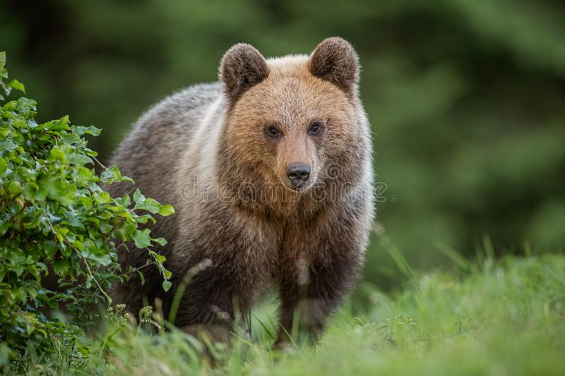 Fluffy young brown bear, ursus arctos, in summer. Fluffy young brown bear, ursus arctos in summer. Cute wild animal staring at the camera. Wildlife scenery from stock photos